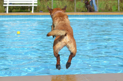 Light brown dog fetching a yellow ball in a crystal clear pool.